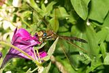 Dragonfly on a petunia flower