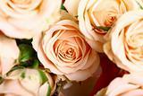 holyday card rose