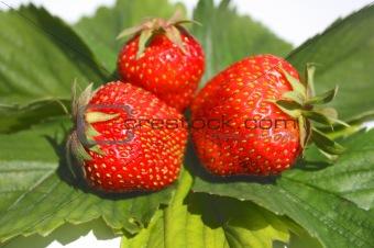 Three berries of  strawberry
