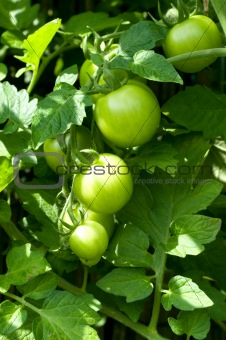 tomato plant in the gerden