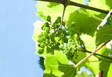 grape plant on sky background