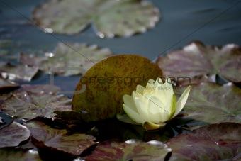 beautiful waterlily