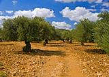 olive grove sunset