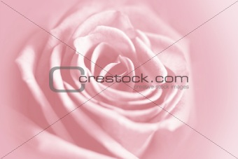 Gentle rose background