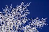 Hoar-frost on birch and blue sky