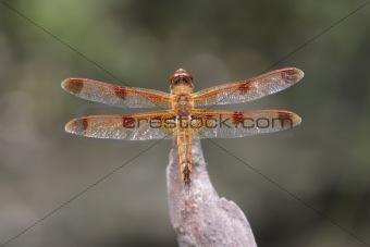 Painted Skimmer Dragonfly (Libellula semifasciata)
