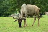 Gnu grazing in a green field