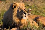 Male Lion resting in the afternoon sun
