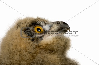 Eurasian Eagle Owl - Bubo bubo (6 weeks)