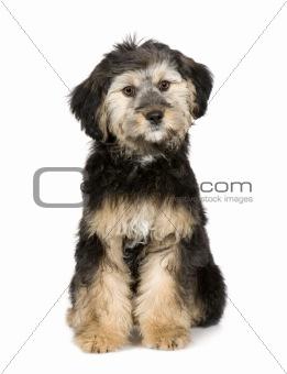 Griffon (3 months)