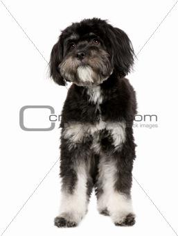 Tibetan Terrier (9 months)