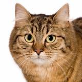 European cat (9 months)