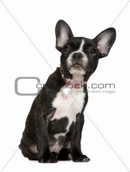 French Bulldog (4 months)