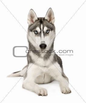 Alaskan Husky ()