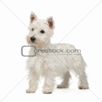 West Highland White Terrier (5 months)