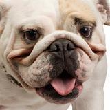 english Bulldog (18 months)