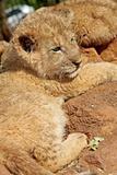 Cub 3