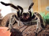 A large spider in defensive position