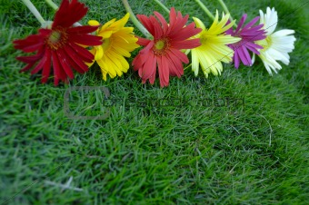 Daisies on green grass