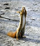 Squirrel standing on two legs with hands up.