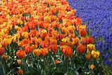 Dutch Tulips in Spring