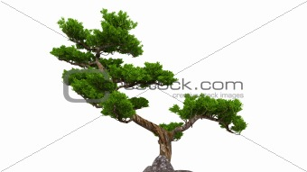 bonsai over white
