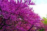 Purple Flowers in a Tree