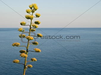 AGAVE - TREE