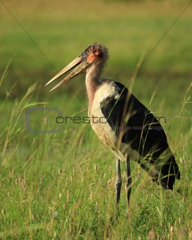 Marabou stork in the grass