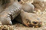 Resting Galapagos Tortoise