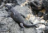 Galapagos marine Iguana