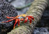 sally lightfoot crab eating