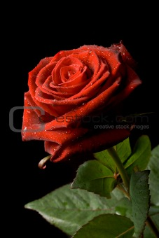 Red rose with drops of water on black background