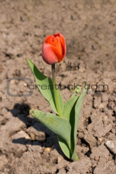 Solitary tulip growing on dry ground