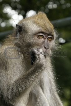 Sleepy long tailed macaque portrait