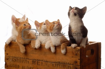 litter of kittens in a box