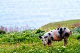 A spotty pig in wildflowers
