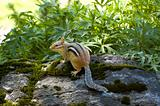 striped chipmunk