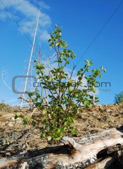Small birch
