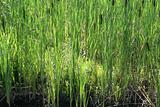 Young bullrushes starting to grow