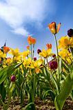 Tulips & Daffodils