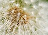 Dandelion Seed texture