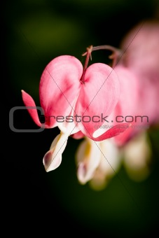Bleeding Heart Macro