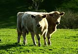 Cattle Couple