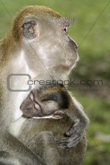 Baby macaque monkey with mother