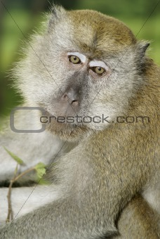 Old macaque monkey portrait