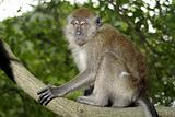 Macaque monkey in tree