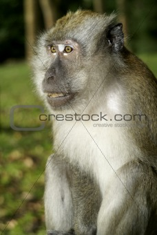 Adult male macaque monkey