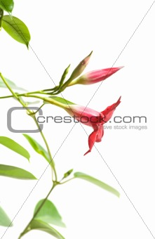 flowering Mandevilla (Dipladenia), isolated