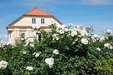 Beautiful roses and gardener`s house in background